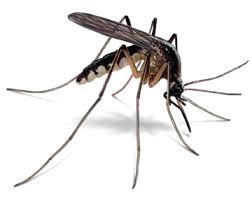 mosquito-paraty